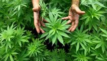 Las mejor marihuana del país es de Escobar. Dos cultivadores locales ganaron en 2014 las competencias de cata Copas CABA y Del Plata. Ambos explican a DIA 32 el culto a una planta que consideran sagrada, tanto por sus fines recreativos como medicinales.